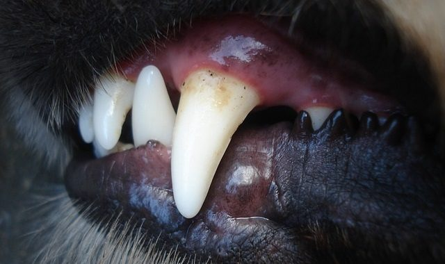Pet Dental Health for Cats and Dogs